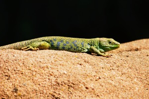 Lizard sunbathing.